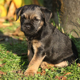 picture of border terrier  - Nice border terrier puppy looking at you - JPG