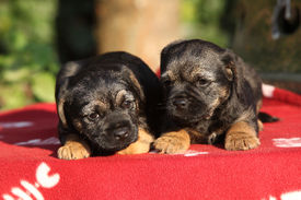 stock photo of border terrier  - Two adorable puppies of border terrier lying on blanket - JPG