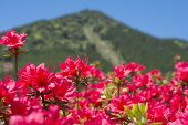 Red azalea and hill