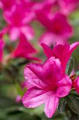 Pink azalea in vertical composition