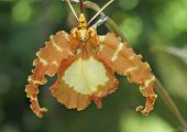 Butterfly Psychopsis Orchid