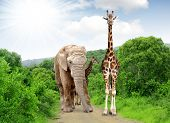 Giraffe and elephant