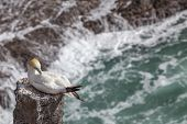 The Australasian Gannet In Muriwai Beach