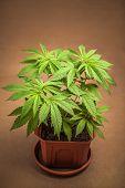 Cannabis Plant In Flowerpot