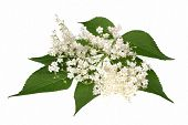 picture of elderflower  - Elderflower flower head sambucus nigra on the white background - JPG