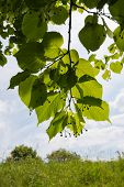 Large-leaved Linden Tree From Close