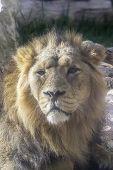 Lion Of Quiet Look