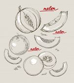 Vector Hand Drawing Juicy Melons
