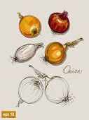 Vector Hand Drawing Realistic Collections  Onions