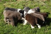 Amazing Puppies Of Bearded Collie