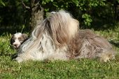 Amazing Bearder Collie Lyin In The Grass