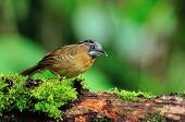 Grey-throated Babbler Bird