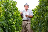 Senior winemaker with glass of wine in vineyard before harvest