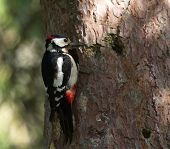 Hairy woodpecker, picoides villosus next to its hole nest