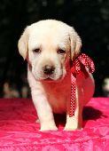Yellow Labrador Puppy Portrait On Red