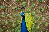 stock photo of peahen  - Portrait of a colourful country house Peacock - JPG