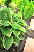 Hosta in summer garden