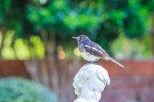 A bird, oriental magpie robin, on the statue in European style garden