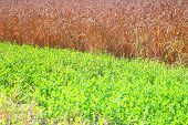 Field of wheat and green grass