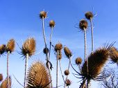 Spiney spring teasels