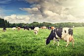 stock photo of calf cow  - Herd of cows grazing at summer green field - JPG