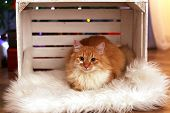 Lovable red cat in crate on fur carpet, indoors