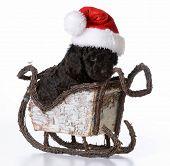 christmas puppy - barbet wearing santa hat sitting in santa sleigh on white background