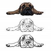 image of bull-mastiff  - Drawing of lying bull mastiff on white background - JPG