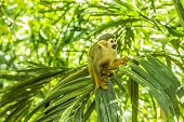 stock photo of baby spider  - A New World Spider Monkey scene with lush green foliage.