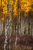 Birch trees with selective focus