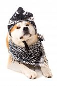 stock photo of akita-inu  - Beautiful Akita Inu dog posing in studio - JPG