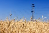 foto of transmission lines  - Lines of electricity transmissions on the field with a wheat - JPG