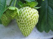 An immature strawberry