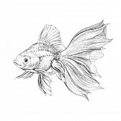 Gold fish, hand drawn illustration.