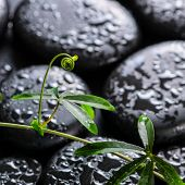 Beautiful Spa Concept Of Green Twig Passionflower With Tendril On Zen Basalt Stones With Dew, Closeu