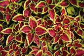 Coleus Leaves (painted Nettle,flame Nettle )