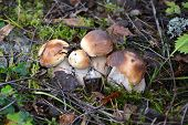 stock photo of boletus edulis  - Boletus edulis mushrooms at the forest - JPG