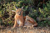 A caracal (Felis caracal) resting in natural habitat, Addo Elephant National Park, South Africa