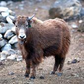 Young Dzo Yak in the Nepal Himalaya