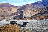 Goats, Nepal