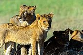 pic of african lion  - Lion in the African savannah Masai Mara - JPG