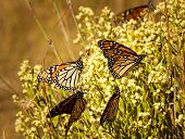 picture of monarch  - Multiple Monarch butterflies on bush as they prepare to migrate south - JPG