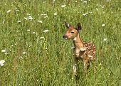 Spotted Fawn in Daisies