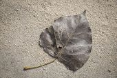 Poplar Leaf, Autumn Leaves