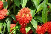 Ashoka flowers primarily seen growing in South India