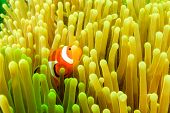 Clownfish in a host anemone during an algae bloom