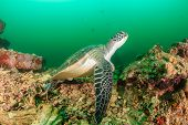 Green Turtle on a reef during a plankton bloom