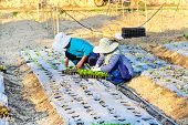 Asian Farmer Working In Hydroponics Vegetable Farm