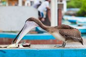 Brown pelican at fish market at Galapagos island of Santa Cruz