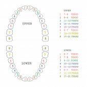 pic of teeth  - vector dental illustration - JPG
